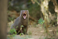 Indian gray mongoose in Sri Lanka Royalty Free Stock Image