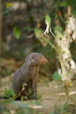 Indian gray mongoose in Sri Lanka Stock Images