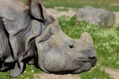 Indian greater one-horned rhinoceros Stock Image