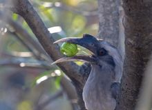 An Indian Grey Hornbills chewing the fruit. A Indian grey hornbill aka Ocyceros birostris , sitting on a dry branch, enjoying its meal of fruits stock images