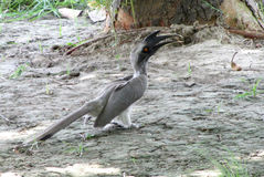Indian grey hornbill Stock Image