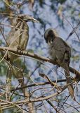 Indian grey hornbill Stock Photography