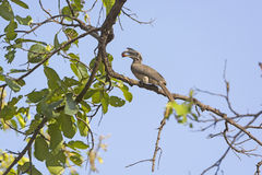 Indian Grey Hornbill Eating in a Tree Stock Photos