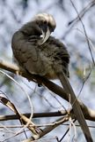 Indian grey hornbill Royalty Free Stock Images