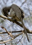 Indian grey hornbill (Ocyceros birostris). An Indian grey hornbill (Ocyceros birostris) cleaning itself while perching on a tree in a forest stock photos