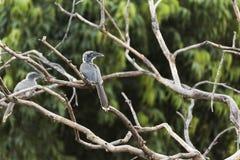 Indian Grey Hornbill Ocyceros birostris in Nathdwara, Rajasthan, India. The Indian grey hornbill Ocyceros birostris is a common hornbill found on the Indian royalty free stock photography