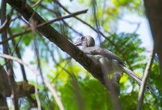 Indian Grey Hornbill perching on Shady Tree. Indian Grey Hornbill Ocyceros birostris perching on Shady Tree stock photos