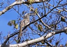 Indian grey hornbill. Ocyceros birostris: Indian grey hornbill on tree branch stock photos