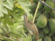 Indian grey hornbill on papaya tree. Also called as Ocyceros birostris stock images