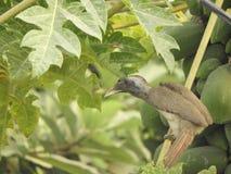 Indian grey hornbill on papaya tree. Also called as Ocyceros birostris stock photo
