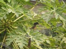 Indian grey hornbill on papaya tree. Also called as Ocyceros birostris stock photography