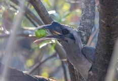 An Indian Grey Hornbills chewing the fruit. A Indian grey hornbill aka Ocyceros birostris , sitting on a dry branch, enjoying its meal of fruits royalty free stock photo