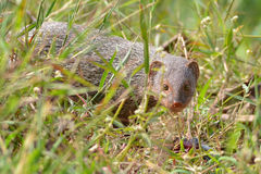 The Indian grey mongoose. Or common grey mongoose is a species of mongoose mainly found in southern Asia, in India, Pakistan, Nepal, Sri Lanka, Bangladesh and Royalty Free Stock Photo