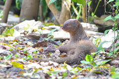 The Indian grey mongoose. Or common grey mongoose is a species of mongoose mainly found in southern Asia, in India, Pakistan, Nepal, Sri Lanka, Bangladesh and Stock Photo