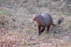 Indian Grey mongoose. (Herpestes edwardsi) in Yala National Park, Sri Lanka Royalty Free Stock Photos