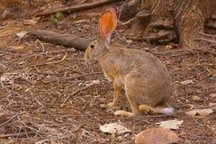 Indian Hare, Lepus nigricollis, Bandhavgarh Tiger Reserve, Madhya Pradesh. India Stock Photo