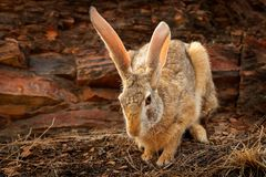 Indian hare, Lepus nigricollis grazing, Ranthambore national park, Rajasthan, India, Asia. Detail animal with big long ears. Hare Stock Photos