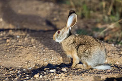 Indian hare Stock Images