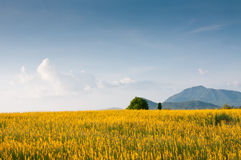 Indian hemp meadow. Yellow indian hemp flowers field in countryside of Thailand Royalty Free Stock Photos