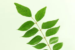 Indian herb curry leaves or curry patta closeup on white background Stock Photos