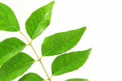 Indian herb curry leaves or curry patta closeup on white background Royalty Free Stock Photos