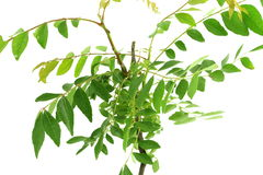 Indian herb  curry leaves or curry patta herb closeup on white background Royalty Free Stock Photos