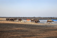 Indian herd spend a day at Seaside Stock Photo