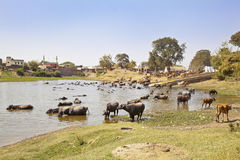 Indian Herdmsan Watering His Cattle Royalty Free Stock Photo