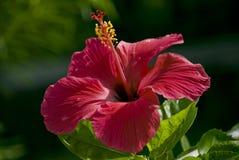 Indian hibiscus flower Stock Photos