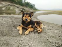 Indian Hill Dog. The Lovely Dog loves to sit near the river Brahmanaputra in Assam, India as the wind gushes through his fur royalty free stock photos