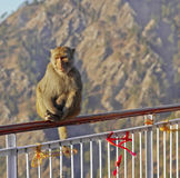 Indian Himalayas monkey on Handrail. Vertical portrait of Macaca Radianta Monkey at Vaishno Devi India hanging onto railings, a red ribbon attaced to the stock photo