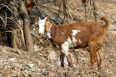 Indian himalyan goat Royalty Free Stock Image