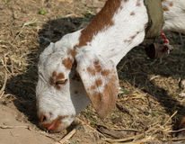 Indian himalyan goat Stock Photography