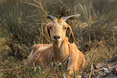 Indian himalyan goat Royalty Free Stock Photo