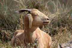 Indian himalyan goat Royalty Free Stock Images