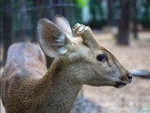 Indian Hog Deer with the cut-off horns. Royalty Free Stock Photo