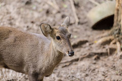 Indian hog deer in head close up shot Royalty Free Stock Photography