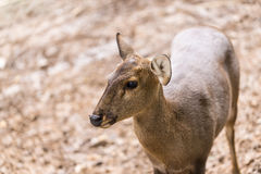 Indian hog deer in head close up shot Stock Photo