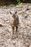 Indian hog deer in head close up shot Stock Photography