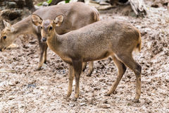 Indian hog deer in head close up shot Royalty Free Stock Images