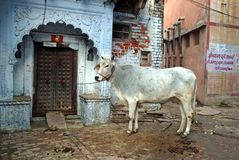 Indian holy cow. In India, cattle are sacred. To India's millions of Hindus, the cow is a holy animal that cannot be harmed Stock Photos