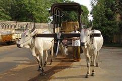 Indian holy cow Stock Photos
