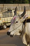 Indian holy cow Royalty Free Stock Images