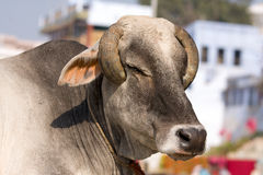 Indian holy cow Stock Photography