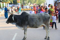 Indian holy cow Stock Images
