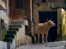 Indian holy cow on the street in Rishikesh. Indian holy cow in Rishikesh Stock Image