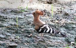 Indian Hoopoe in the backyard Royalty Free Stock Photos