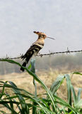 Indian Hoopoe sitting on the fence wire Stock Images