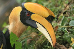 Indian hornbill Stock Photos