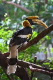 Indian hornbill. This hornbill spend his time up in the tree is waiting for his wife royalty free stock photos